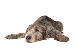 Irish wolfhound in front of a white background