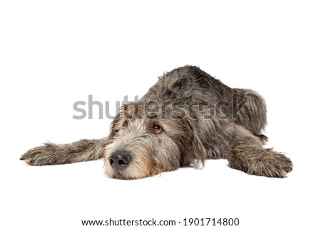 Irish wolfhound in front of a white background Foto stock ©