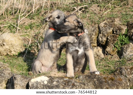 Irish Wolfhound Puppies on Irish Wolfhound Puppies Stock Photo 76544812   Shutterstock