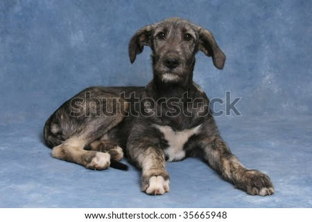 Irish Wolfhound Puppies on Irish Wolfhound Puppy Stock Photo 35665948   Shutterstock