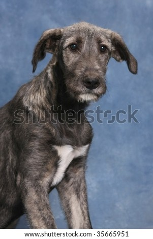Red irish wolfhound puppies - photo#19
