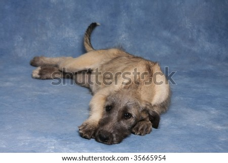 Irish Wolfhound Puppies on Irish Wolfhound Puppy Stock Photo 35665954   Shutterstock