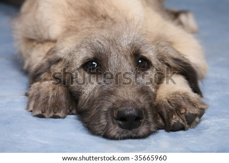 Irish Wolfhound Puppies on Irish Wolfhound Puppy Stock Photo 35665960   Shutterstock