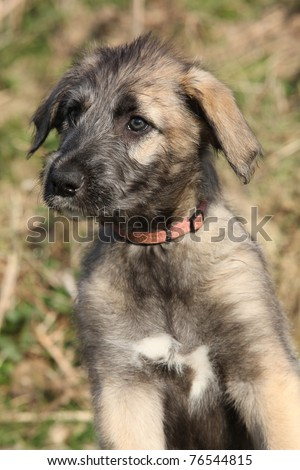 Irish Wolfhound Puppies on Irish Wolfhound Puppy Stock Photo 76544815   Shutterstock