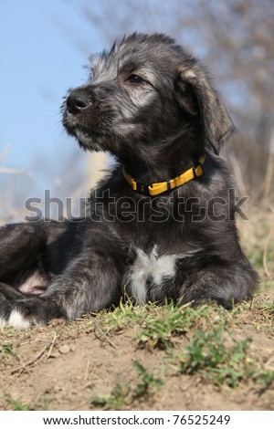 Irish Wolfhound Puppies on Irish Wolfhound Puppy On Blue Background Stock Photo 76525249