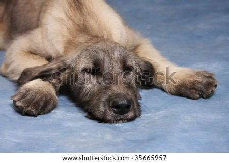 Irish Wolfhound Puppies on Irish Wolfhound Puppy Sleeping Stock Photo 35665957   Shutterstock
