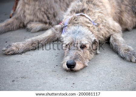 Irish Wolfhound resting. Portrait  Funny dog