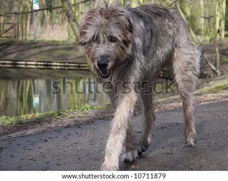 Irish Wolfhound - the tallest dog breed