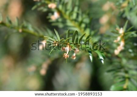 Irish Yew flowers - Latin name - Taxus baccata Foto stock ©