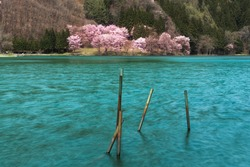 Iron stakes stuck into the lake and cherry blossoms in full bloom on the shore of the lake,omachi city,Nagano Prefecture,japan