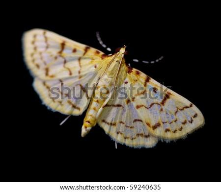 Ironweed Root Moth (Polygrammodes flavidalis).