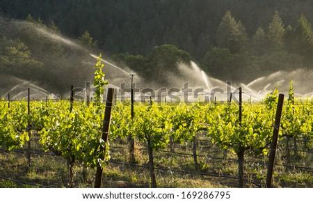 irrigating zinfandel grapes ...