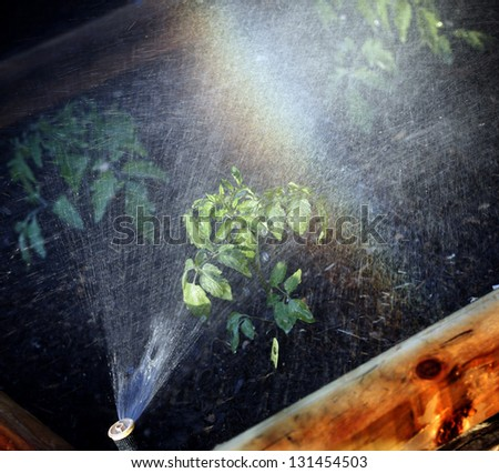 Irrigation system watering bed with tomato plants - stock photo