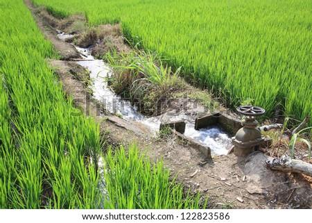 Irrigation water into rice field ストックフォト ©