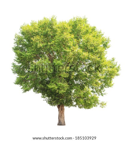 Irvingia malayana also known as Wild Almond, tropical tree in the northeast of Thailand isolated on white background - Shutterstock ID 185103929