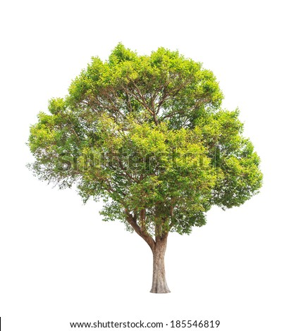 Irvingia malayana also known as Wild Almond, tropical tree in the northeast of Thailand isolated on white background - Shutterstock ID 185546819
