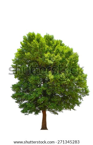 Irvingia malayana also known as Wild Almond, tropical tree in the northeast of Thailand isolated on white background. - Shutterstock ID 271345283