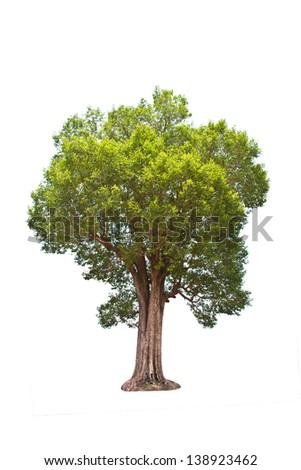 Irvingia malayana tree, Lagerstroemia macrocarpa Wall or Kayu also known as Wild Almond, tropical tree in the northeast of Thailand isolated on white background - Shutterstock ID 138923462