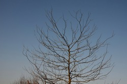 is a deciduous tree, native to North America. It grows to a height of 20-30 m and forms a tree with a sparse, ovoid crown. On the trunk are conspicuous, up to 10 cm long, shiny thorns.