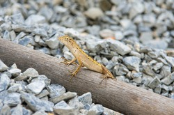 Is a reptile in the sub-rank Lacertilia or Sauria in the rank Squamata or rank lizards and snakes. The animals in this ranking include snakes in the sub-ranking Serpentes because they are ranked in th