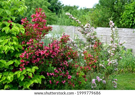 is an attractive variety of Vajgélie with deep purple-red, tubular flowers. The leaves are freshly green, broadly elliptical to ovate, finely serrated and healthy at the edges. Foto stock ©