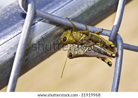 Is this Love? = Grasshoppers on the fence