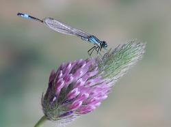 Ischnura elegans ebneri (male)
