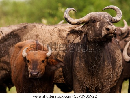Ishasha is an region where Cape Buffalo and the smaller Forest Buffalo (Syncerus caffer nanus) mix and interbreed and the traits of both can be seen in a herd