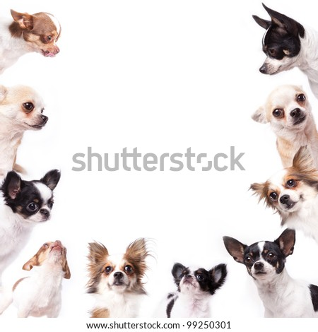 Isolate a group of chihuahuas looking at the center of picture