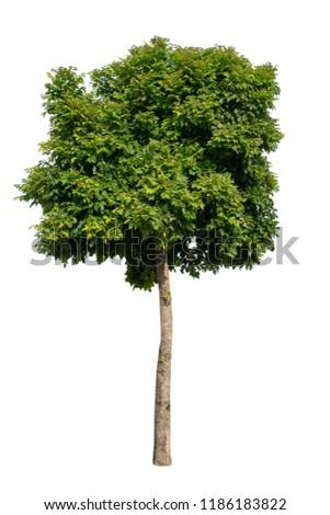 Isolate big tree on white background