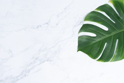 Isolate Dark green Monstera large leaves, philodendron tropical foliage plant growing in wild on white mable rock background concept for flat lay summer greenery leaf texture rainforest floral