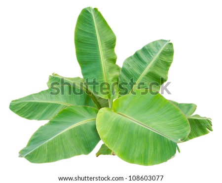 Isolate the top of the banana trees that have large leaves.