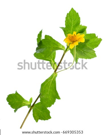 Isolate yellow daisy flower, isolate yellow wildflower, a close up photo image of yellow daisy flower a kind of wildflower with green daisy leaves isolated on white background, wildflower with stem