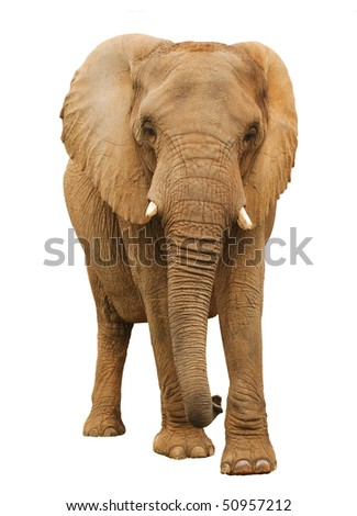 Isolated African Elephant