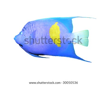 Isolated Angelfish on a white background