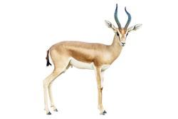 isolated Antelope on white background