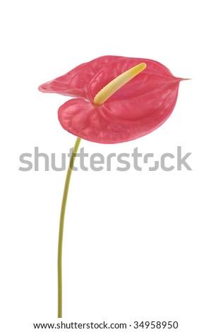 Isolated anthurium exotic flower