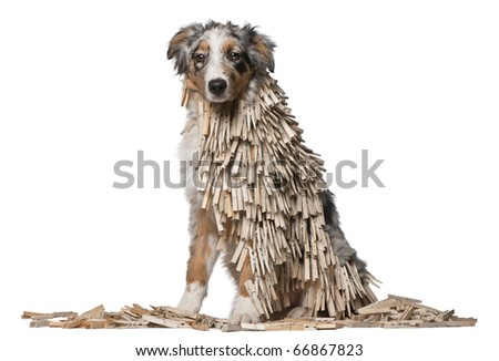 isolated Australian Shepherd puppy covered with Clothespins, 5 months old, sitting in front of white background