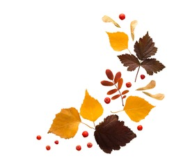 Isolated autumn yellow leaves of birch, dark currants and red rowan berries with isolated rowan berries