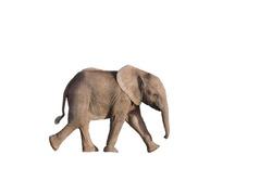 Isolated baby elephant