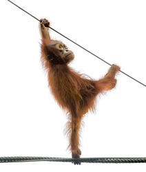Isolated baby monkey. Little orangutan monkey stands on a rope in funny pose, isolated on white background