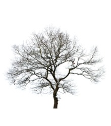 Isolated bare tree against white background