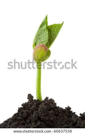 isolated bean seedling with soil on white background