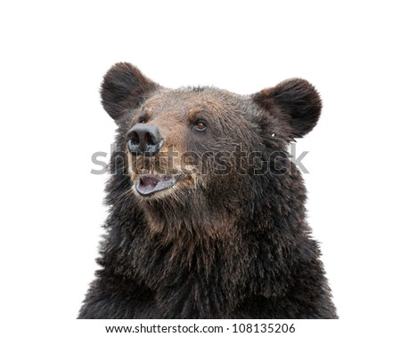 isolated bear head - stock photo
