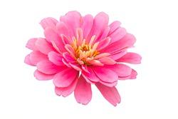 isolated beautiful pink chrysanthemum flower on white background
