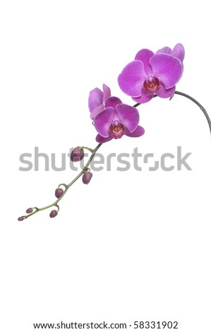 Isolated beautiful purple orchid