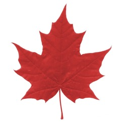Isolated beautiful red Maple Leaf on White