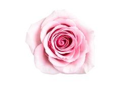 Isolated Beautiful rose on white background