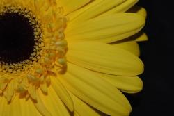 Isolated beautiful yellow gerbera flower on a dark background. Macro shot.