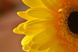 Isolated beautiful yellow gerbera flower, partially illuminated by the sun. Blurred photo.Macro shot.
